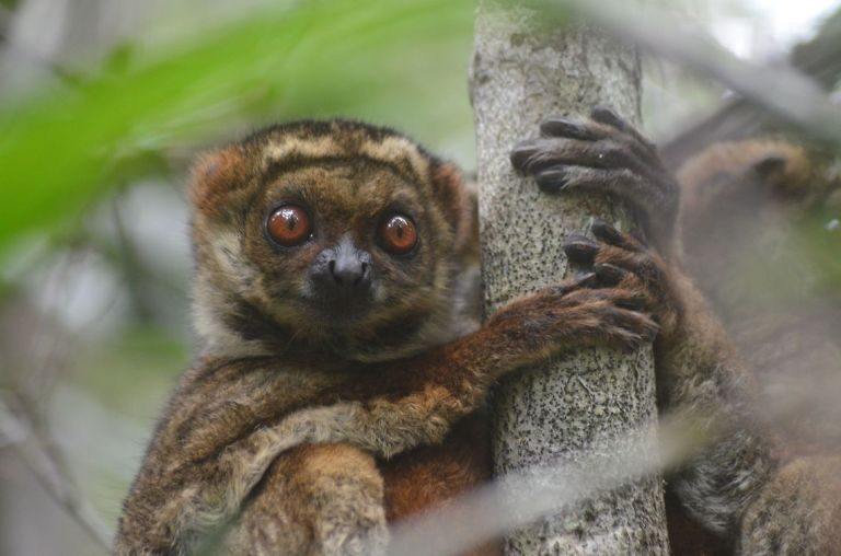 Masoala - Eastern Woolly Lemur.jpg