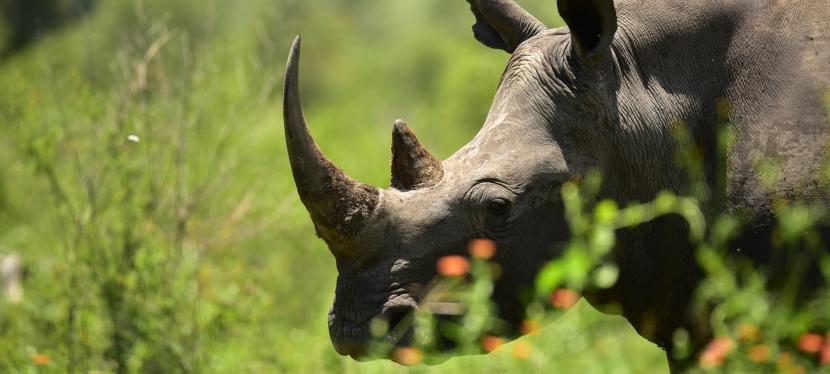 Save the Rhino WalkingSafari