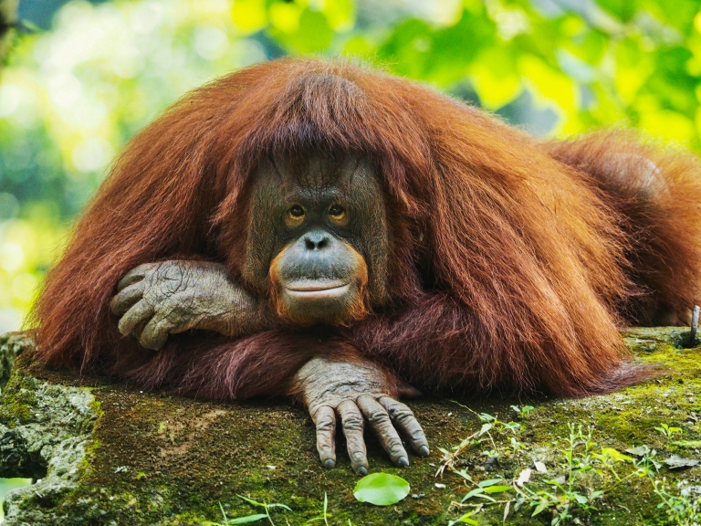 Bornean Orangutan.jpg