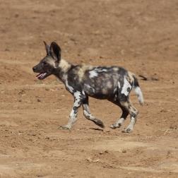 Wild Dog (6)