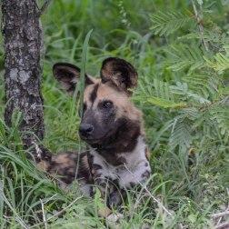 Wild Dogs. S114, 4km from Napi. 8 Jan 2019. 01