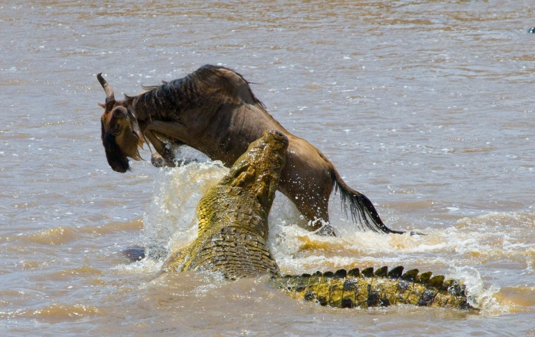 Nile Crocodile with prey