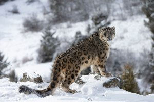 Snow Leopard and wildlife in Mongolia