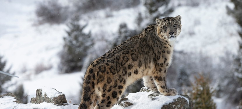 Mongolia Snow Leopard and Wildlife Tour