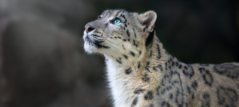 Mongolia Snow Leopard & Wildlife
