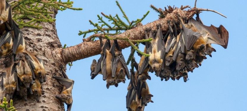 Zambia: Kasanka BatMigration