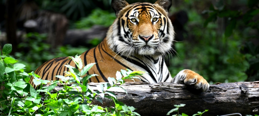 World Tiger Day