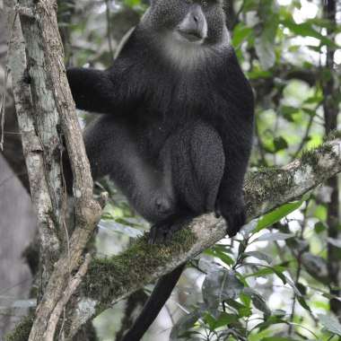 Blue-Monkey-in-Kibale