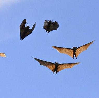 Flying-bats