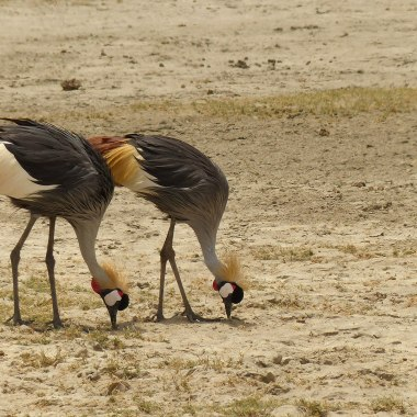 Grey-crowned-Cranes