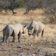 Rhino Walking Safari in Namibia