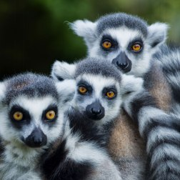 Ring-tailed-Lemurs-(1)